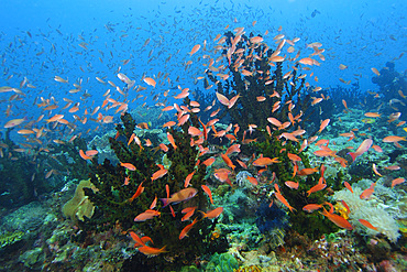 Thousands of scalefin anthias, Pseudanthias squamipinnis, hover over green coral, Tubastrea micrantha, Puerto Galera, Mindoro, Philippines.
