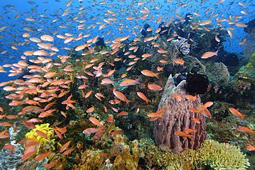 Thousands of scalefin anthias, Pseudanthias squamipinnis, hover over corals and barrel sponge, Puerto Galera, Mindoro, Philippines.