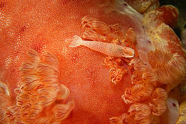 Emperor shrimp, Periclimenes imperator, next to gills of spanish dancer, Hexabranchus sanguineus, night, Puerto Galera, Mindoro, Philippines.