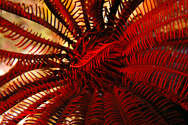 Feather star, possibly Oxycomanthus bennetti, West Escarceo, Puerto Galera, Mindoro, Philippines.