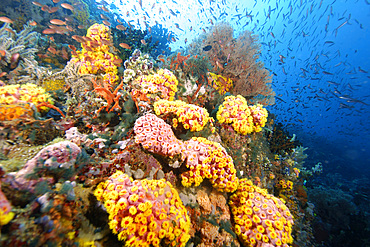 Reef wall covered with soft corals and gorgonians, mainly orange cup coral, Tubastrea faulkneri, Verde Island, Philippines.