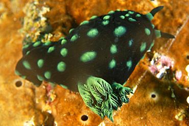 Polycerid nudibranch, Nembrotha cristata, external gill detail, Puerto Galera, Mindoro, Philippines..