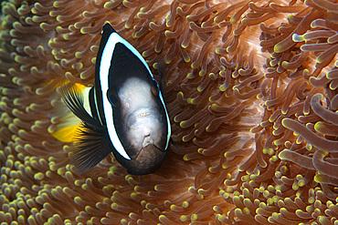 Clark's anemonefish, Amphiprion clarkii, unusual color variant, male, Dauin, Negros, Philippines..