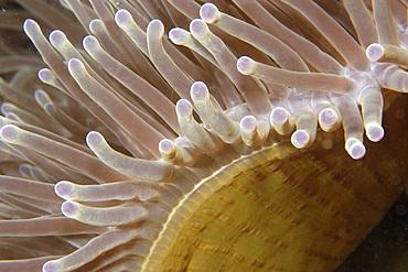 Magnificent sea anemone, Heteractis magnifica, Dumaguete, Negros, Philippines.
