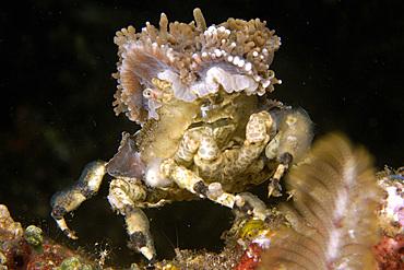 Decorator spider crab, Cyclocoeloma tuberculata, Dumaguete, Negros, Philippines.