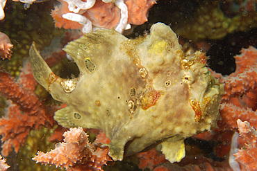 Painted frogfish, Antennarius pictus, perched on red sponge, Dumaguete, Negros, Philippines.