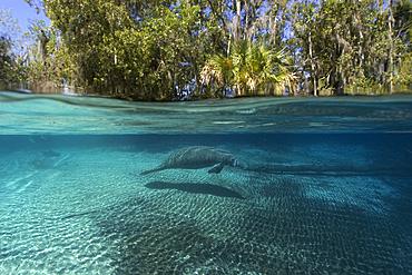 Florida manatee, Trichechus manatus latirostrus, Crystal River, Florida, USA