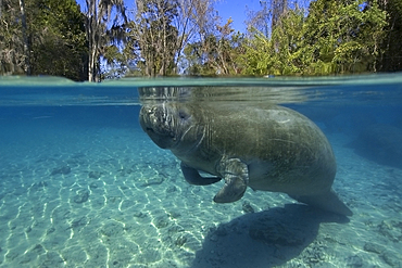 Florida manatee, Trichechus manatus latirostrus, surfaces to breathe, Crystal River, Florida, USA