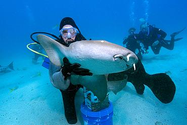 Scuba diver handles nurse shark, Ginglymostoma cirratum, Molasses Reef, Key Largo, Florida, USA, Atlantic Ocean