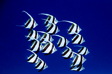 Pennant butterflyfish, juvenile, schooling Heniochus diphreutes, Portlock, Oahu, Hawaii (N. Pacific).