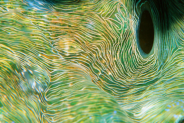 Giant clam, mantle detail, Tridacna gigas, Rongelap, Marshall Islands (N. Pacific).
