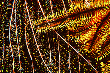 Feather stars, Oxycomanthus bennetti, Temple of Doom, Great Barrier Reef, Australia (S. Pacific).