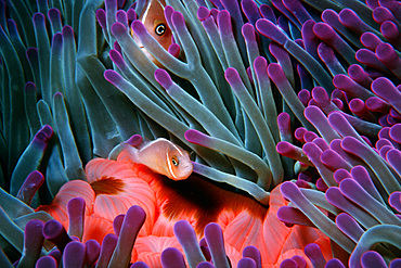 Juvenile and adult pink anemonefish in sea anemone, Amphiprion perideraion, Fila Reef, Port Vila, Vanuatu (S. Pacific).