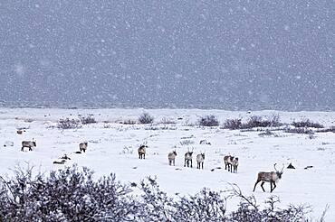 Caribous in winter landscape