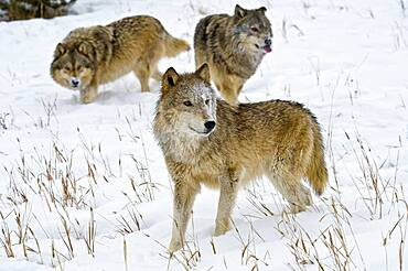 Alpha female Gray Wolf (Canis lupus) Grey Wolf with subordinate males, Montana, USA.