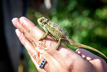 Chameleon resting on human hand Volcanos National Park, Rwanda