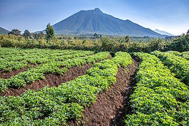 Potato fields on small farms near Volcanos National Park, Rwanda