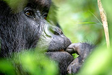 The eyes of a Mountain Gorilla (Gorilla beringei beringei) of the Muhoza group, peak out from behind foliage, in Volcanoes National Park, Virunga mountain range, Rwanda