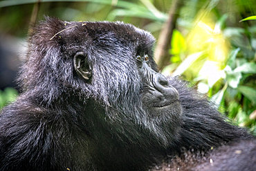 Mountain Gorilla's (Gorilla beringei beringei) of the Muhoza group, in Volcanoes National Park, Virunga mountain range, Rwanda