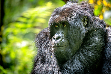 Mountain Gorilla (Gorilla beringei beringei) of the Muhoza group, in Volcanoes National Park, Virunga mountain range, Rwanda