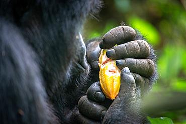 A Mountain Gorilla (Gorilla beringei beringei) of the Muhoza group, holds a fruit, in Volcanoes National Park, Virunga mountain range, Rwanda