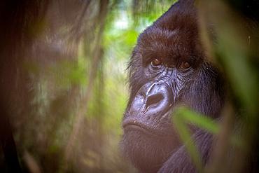 Mountain Gorilla (Gorilla beringei beringei) of the Muhoza group climb trees, in Volcanoes National Park, Virunga mountain range, Rwanda