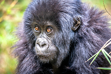 A baby Mountain Gorilla (Gorilla beringei beringei) of the Muhoza group, in Volcanoes National Park, Virunga mountain range, Rwanda