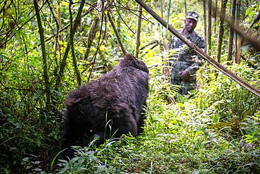 A Mountain Gorilla (Gorilla beringei beringei) of the Muhoza group looks at a man in uniform, in Volcanoes National Park, Virunga mountain range, Rwanda.
