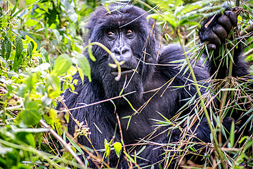 Mountain Gorilla (Gorilla beringei beringei) of the Muhoza group, in Volcanoes National Park, Virunga mountain range, Rwanda .