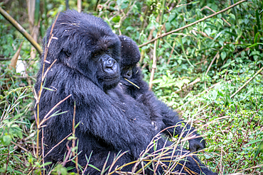 A Mountain Gorilla (Gorilla beringei beringei) of the Muhoza group ,holds her child, in Volcanoes National Park, Virunga mountain range , Volcanos National Park, Rwanda.