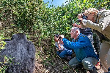 Tourist look at and photograph a Mountain Gorilla (Gorilla beringei beringei) of the Muhoza group, in Volcanoes National Park, Virunga mountain range, Rwanda.
