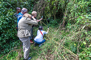 Tourist take pictures of Mountain Gorillas (Gorilla beringei beringei) of the Muhoza group, in Volcanoes National Park, Virunga mountain range, Rwanda .