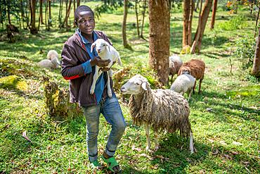 A young boy holds up lamb from his flocks sheep in Eucalyptus grove, Kinigi, Rwanda.