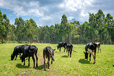 Cattle grazing in open field on edge of Eucalyptus grove, Kinigi, Rwanda