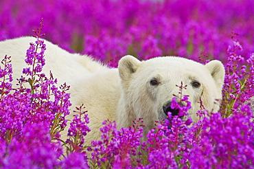 Polar Bear (Ursa maritimus) in fireweed (Epilobium angustifolium)