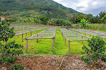 Rows of coffee drying racks sit side-by-side in field in Rwanda