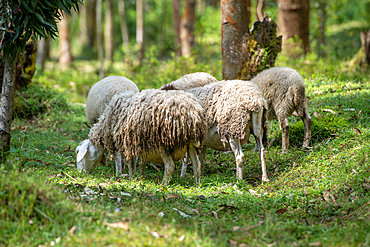 Sheep grazing in Eucalyptus grove, Kinigi, Rwanda
