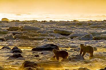 Polar Bear (Ursa maritimus) on sub-arctic Hudson Bay ice and snow, Churchill, MB, Canada