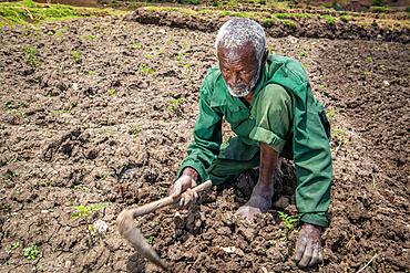 An elderly Ethiopian farmer uses a wooden hoe to tend to his fields, Debre Berhan, Ethiopia.