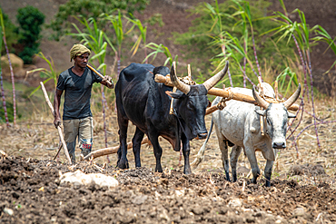 An Ethiopian farmer uses a cattle drawn plough to tend to his fields, Debre Berhan, Ethiopia.