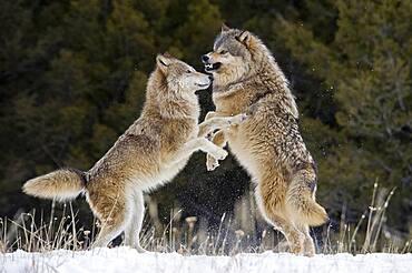 Beta male Gray Wolf (Canis lupus) Grey Wolf fending off alpha female advances in fresh winter snow, Montana, USA.