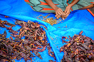 Hands removing stems from dried red chili peppers at outdoor market, Debre Berhan, Ethiopia