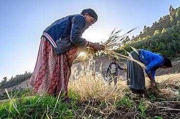 Barley harvest near Ankober, Ethiopia