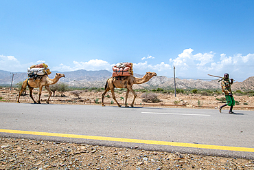 A man leads camels who carry goods in Danakil Depression, Ethiopia