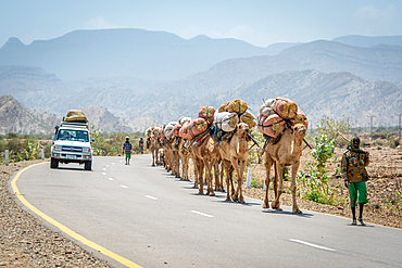 A man leads a line of camels (Camelus) carrying bags of hay on their back travel down road, in Danakil Depression, Ethiopia