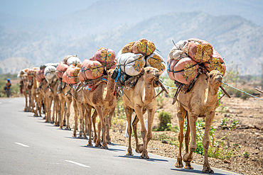 A line of camels (Camelus) carrying bags of hay on their back travel down road, in Danakil Depression, Ethiopia