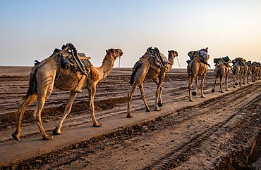 A Caravan of camels (Camelus) in the Danakil Depression, Ethiopia