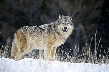 Male Gray Wolf (Canis lupus) Grey Wolf Portrait in fresh falling snow, Montana, USA.