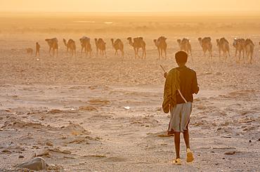 A man walks towards Caravan of camels (Camelus) in the Danakil Depression, Ethiopia