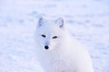 Arctic Fox (Vulpes lagopus) at Seal River Lodge, coastal Hudson Bay, Churchill, MB, Canada